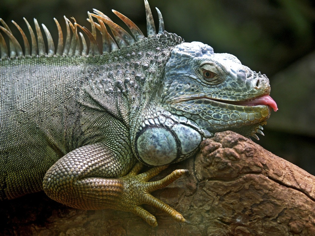 photo of a green iguana