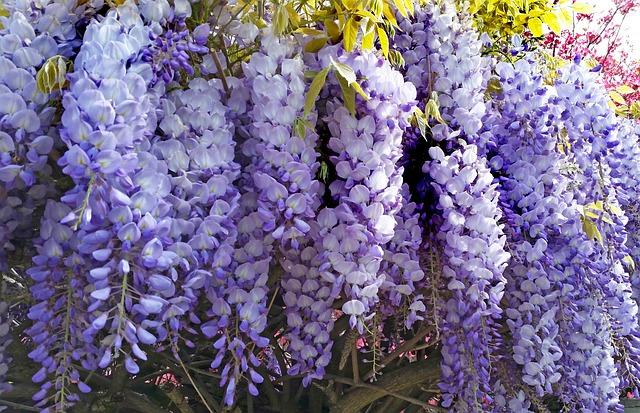 wisteria-3348695_640
